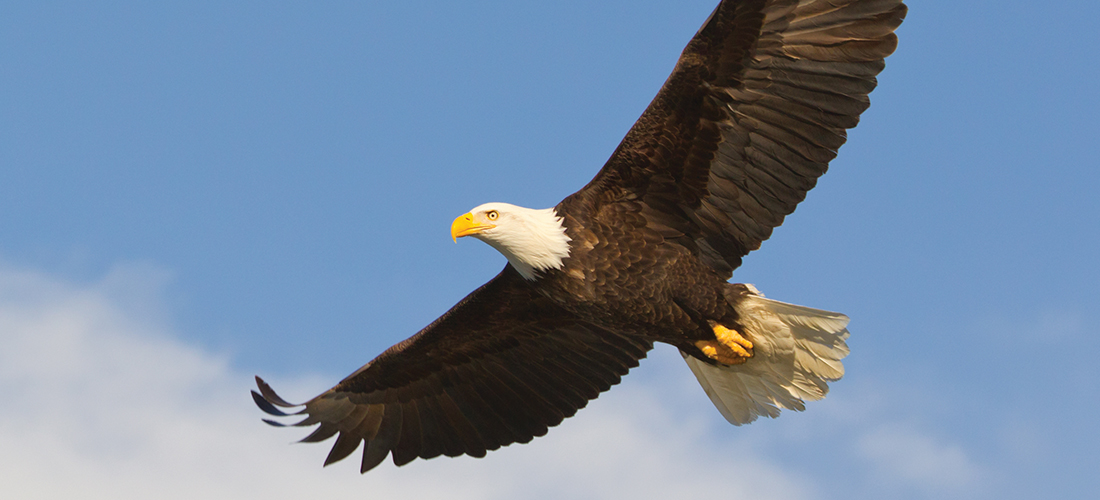 The Bald Eagle Flies Again Pinestraw Magazine